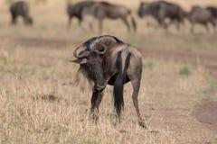 Wildebeest no Masai Mara fotos de stock
