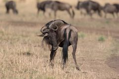 Wildebeest no Masai Mara fotografia de stock royalty free