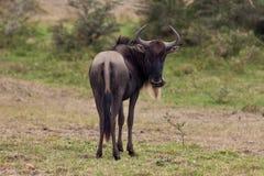 Wildebeest noir Image stock