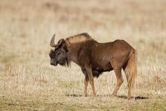 Wildebeest noir Photos stock