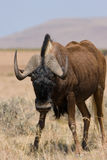 Wildebeest noir Photo stock