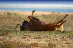 Wildebeest noir image libre de droits
