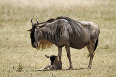 Wildebeest nouveau-né photo stock