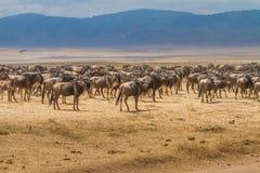 Millares de wildebeests Fotografía de archivo libre de regalías