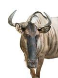 Wildebeest odizolowywający Obrazy Stock