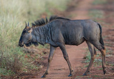 Wildebeest odprowadzenie przez pola obraz stock