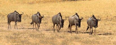 Wildebeest odprowadzenie w linii Obraz Stock