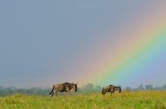 Wildebeest onder regenboog stock afbeelding