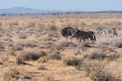 Oryx, wildebeest and zebra in Etosha National Park, Namibia stock images