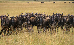Wildebeest. Pack of Wildebeest looking straight at the camera Royalty Free Stock Photography