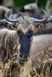 Wildebeest, park narodowy Kenja, Afryka Zdjęcia Royalty Free