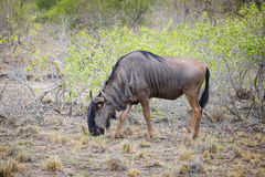 Wildebeest pasanie w Kruger parku narodowym Zdjęcia Royalty Free