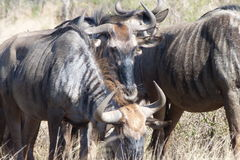 Wildebeest. This photo of wildebeest was  taken  in  The  Kruger National  Park   in  South  Africa Stock Photography