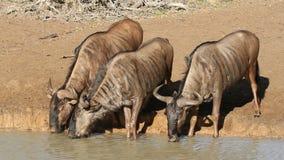 Wildebeest pić Zdjęcie Royalty Free