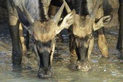 Wildebeest Pić Zdjęcia Stock