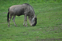 Wildebeest on the Plain Stock Photography