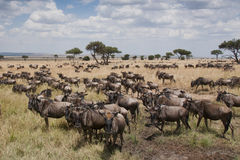 Wildebeest on the plains of the Masai Mara, Kenya. Herds of Wildebeest gathering on the plains of the Masai Mara for the annual Great Migration in Kenya stock images