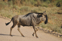 The wildebeest Stock Photo