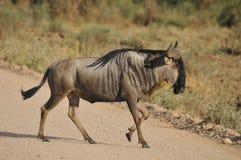 The wildebeest Stock Photo