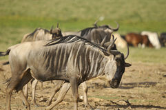 The wildebeest Royalty Free Stock Image