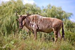 The wildebeest Stock Photos