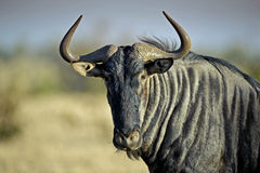 Wildebeest-Portrait Stockfotografie