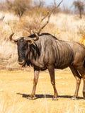 Wildebeest pozycja w południe - afrykanina krajobraz Zdjęcia Royalty Free