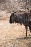 Wildebeest portrait Royalty Free Stock Photo