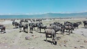 Wildebeest przy Ngorongoro kraterem Zdjęcia Stock