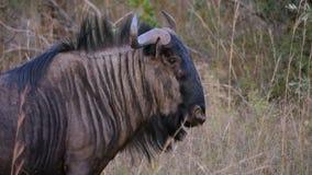 Wildebeest przy sawanną Zdjęcie Royalty Free