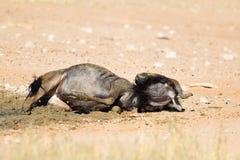 Wildebeest pyłu kąpanie obrazy stock