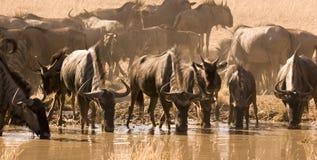 Wildebeest que bebe de waterhole Fotografía de archivo