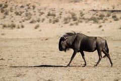 Wildebeest que recorre Imagen de archivo libre de regalías