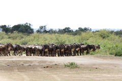 A wildebeest in queue to cross Mara river Stock Images