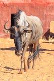 Wildebeest in  Kalahari Namibia Royalty Free Stock Images