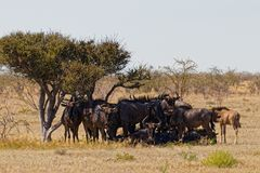 Wildebeest at rest royalty free stock images