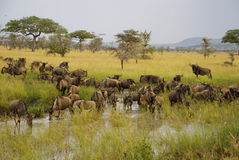 Wildebeest in river during great migration. Group of wildebeest drinking at the river. In the background landscape with trees and mountain Stock Photography
