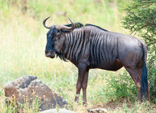 Wildebeest and rock Royalty Free Stock Photos