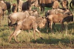 Wildebeest on the run Royalty Free Stock Photos