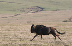 Wildebeest running Stock Image