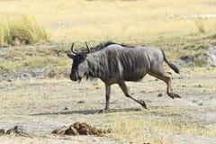 Wildebeest running Stock Photography