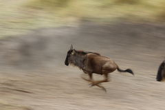 Wildebeest running on slow shutter speed Royalty Free Stock Images