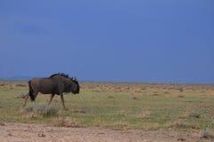 Wildebeest salvaje Fotografía de archivo libre de regalías