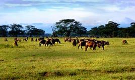 Wildebeest in savana in Africa Fotografie Stock Libere da Diritti