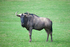 Wildebeest in savanna Royalty Free Stock Images