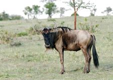 A wildebeest in Savanna grassland Royalty Free Stock Photo