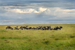 Wildebeest  in the savanna Stock Images