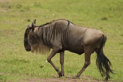 Wildebeest in the Savannah Royalty Free Stock Photo