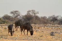Wildebeest in the savannah of the Etosha Park in Namibia Royalty Free Stock Image