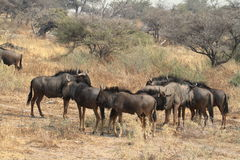 Wildebeest in the savannah of the Etosha Park in Namibia Stock Photography